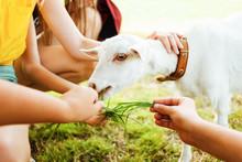 Feeding Goat. Children Feeding...
