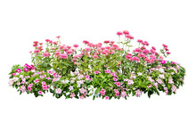 Flower Plant Isolated With Cli...