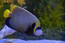 Beautiful Marine Angelfish Fish