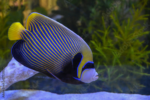 Beautiful marine angelfish fish Canvas Print