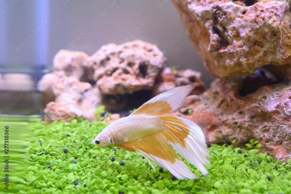 Fototapety, obrazy: Betta on the fish tank background