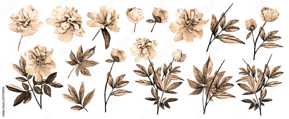 Watercolor illustration. Botanical collection of wild and garden plants. Set: leaves flowers, branches, herbs and other natural elements. All drawings isolated on white background. Peonies.