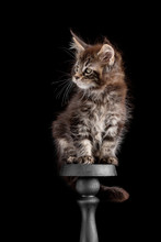 Maine Coon Kitten On A Black B...