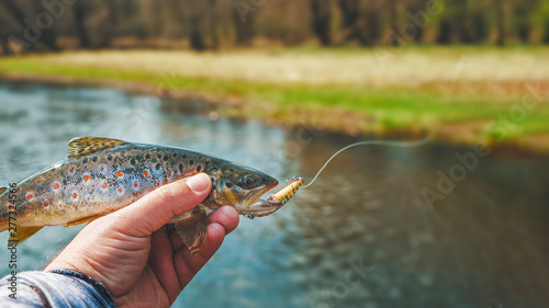 Photo  Beautiful little trout caught on a wobbler.