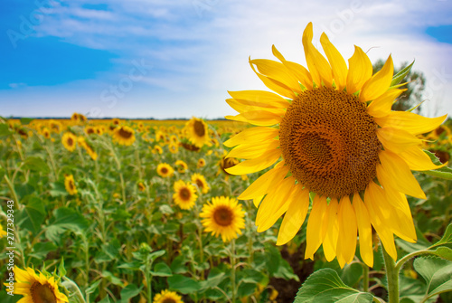 Poster Tournesol Sunflower natural background. Sunflower blooming.