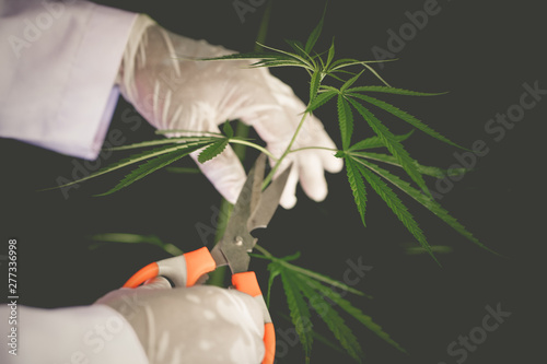 Valokuva  Cutting Cannabis leaves holding by hand