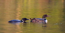 Common Loon (Gavia Immer) Feeding Its Chick In Ontario, Canada