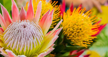 Bright Colored King Protea From The Fynbos Of Cape Town South Africa