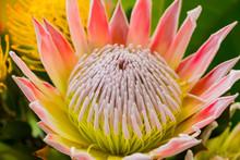 Bright Colored King Protea Fro...