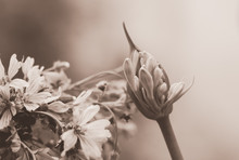 Agapanthus Blossoming Bud In N...