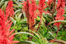 Aloe Ferox Flowers With Sunbir...