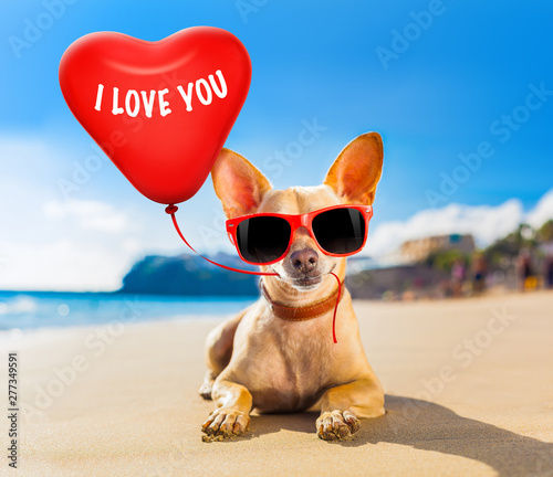 Cadres-photo bureau Chien de Crazy chihuahua summer dog