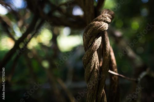 Stampa su Tela  liana grows under the sun in the Amazon jungle