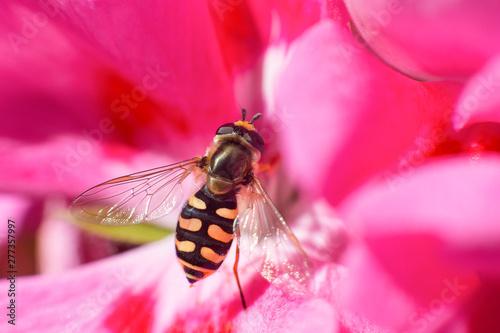 Obraz na plátně  macro portrait of an eupeodes corollae insect resting on a geranium flower