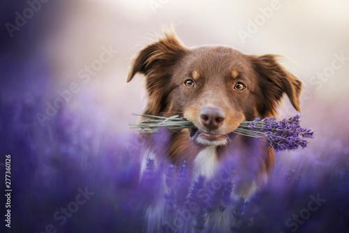 Photo Australian shepherd - in lavender