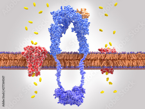 Fotografía Binding of insulin to the insulin receptor leads to glucose uptake into the cell