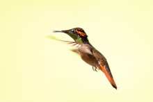 A Male Ruby Topaz Hummingbird Hovering In The Air With A Smooth Background.