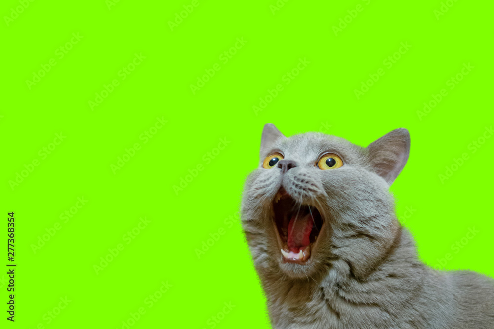Fototapety, obrazy: A lilac British cat looking up. The cat opened his mouth with a mad look. The concept of an animal that is surprised or amazed. The figure of a cat on an isolated background of UFO Green color.