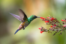 A Copper-rumped Hummingbird Fe...