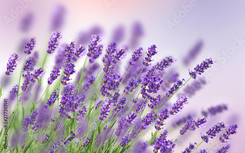 Fototapeta Beautiful lavender background obraz
