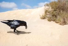 A Crow Eating What It Has Hunted In The Middle Of Sand Dunes.