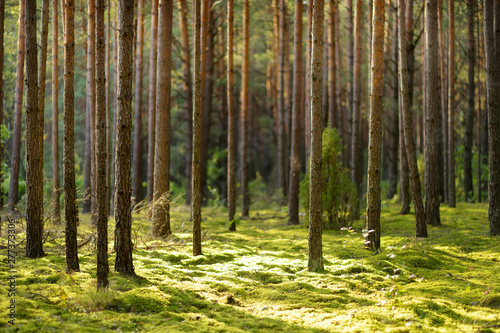 Fotografia Beautiful mixed pine and deciduous forest, Lithuania