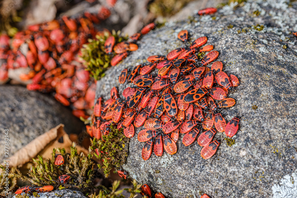 Fototapety, obrazy: small red beatles nesting on the rocks in summer. Pyrrhocoris apterus