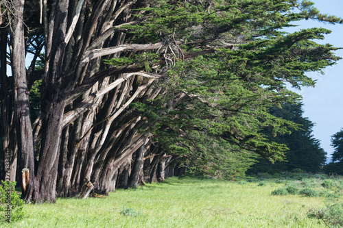 Fototapeten Wald Stunning Cypress alley at Point Reyes National Seashore, California, United States. Fairytale trees in the beautiful day near San Francisco, USA