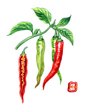 Hot Chili Pepper Capsicum Annuum (syn. Capsicum Frutescens), Branch With Fruits And Pod In The Section, Watercolor Painting On A White Background, Isolated
