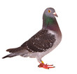 full body of black feather homing pigeon bird isolated white background