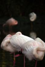 Flock Of Sleeping Flamingos Wildlife
