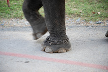 Elephant Feet With Chains