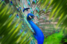 Peacock Portrait In Jungle