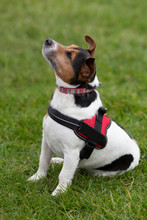 Cute Jack Russell Dog