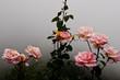 canvas print picture - Das Bild zeigt einen rosa Rosenstrrauch in einem kleinen Rosarium auf Madeira. Der aufziehende Nebel verleiht dem Foto eine mystische Stimmung.