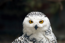 The Snowy Owl (Bubo Scandiacus) Female Portrait With Brown Background.