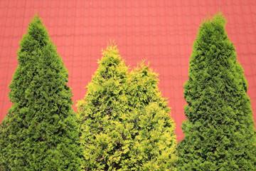 Tuja kolumnowa w dwóch kolorach na tle czerwonej dachówki..