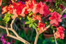 Blooming Azalea Flowers.