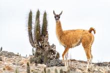 Llama Y Cactus
