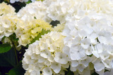 Huge inflorescences of white large hydrangeas (Latin Hydrangea macrophylla). Beautiful, poisonous and healing floral hydrangea - a symbol of the island of San Miguel, Azores, Portugal