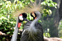 Grey Crowned Crane At KL Bird Park
