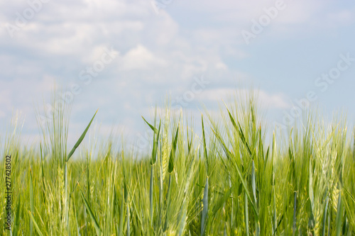 Barley field with ripened green spikes, clear blue sky with clouds Canvas Print