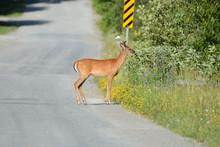 Deer At Side Of Road