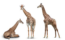 Photo Set Giraffes Isolated On...