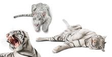 Photo Set White Tigers Isolate...