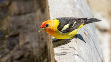 Western Tanager At Capulin Spring In Sandia Mountains Near Albuquerque, New Mexico
