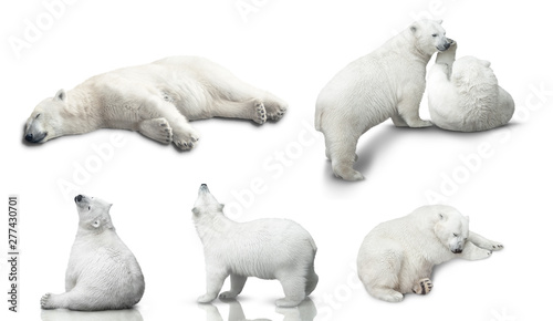 Poster Ijsbeer small polar bear cub is isolated on white background