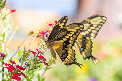 Black and yellow swallowtail butterflies at Albuquerque Botanic Garden