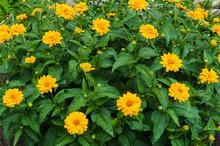 Flower Yellow Ziniya With A Garden In The Village. Summer Landscape.