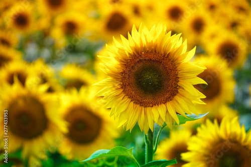 Poster Zonnebloem Infinite field with bright yellow blooming sunflowers, soft focus